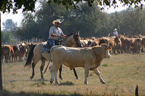 Fekete Lovastanya marha hajtás ló háton